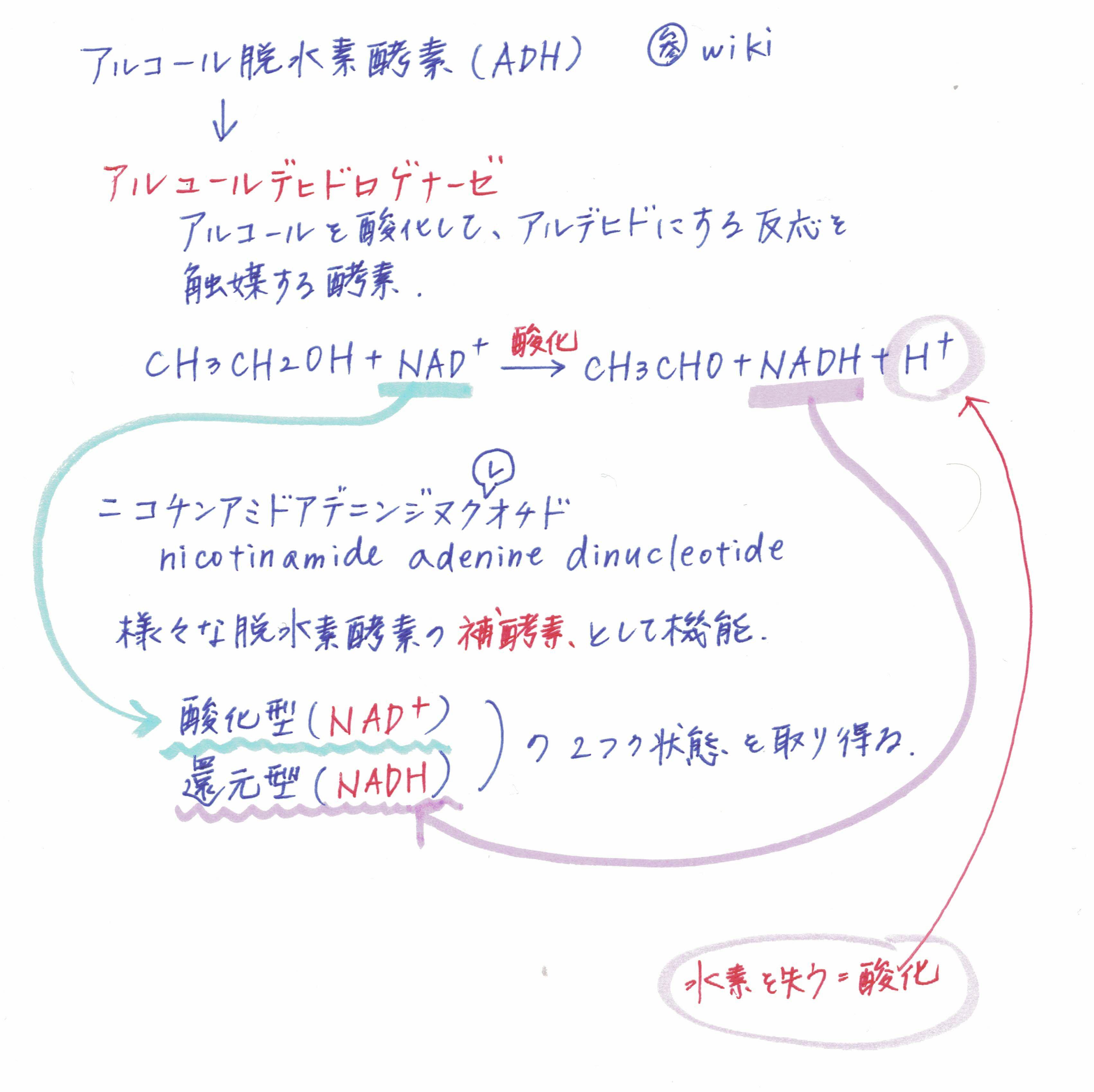 アルコール脱水素酵素(ADH)