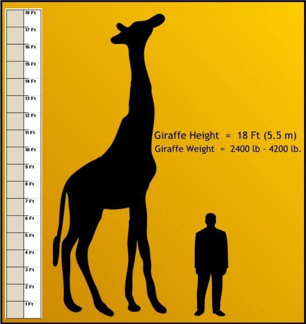 how-tall-is-a-Giraffe-e1521352760478.jpg